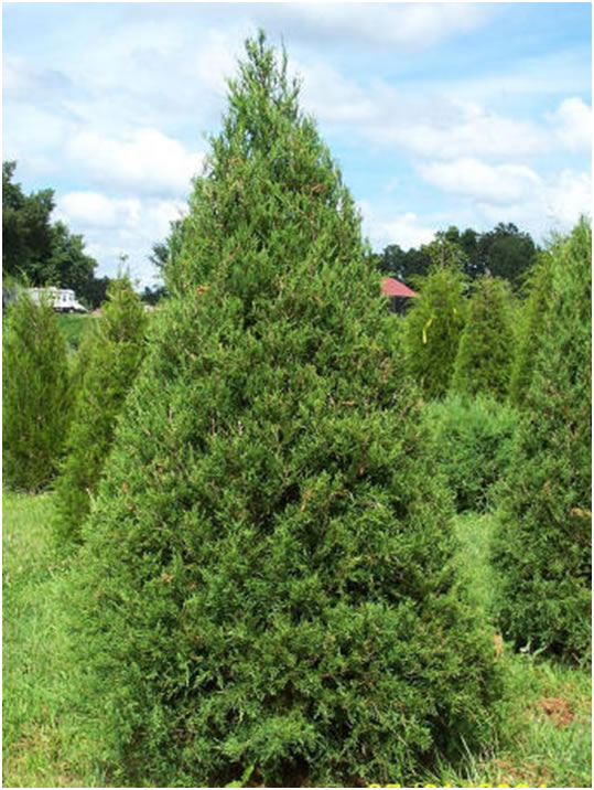 Eastern Red Cedar ~ Bear creek tree farm merry christmas columbia