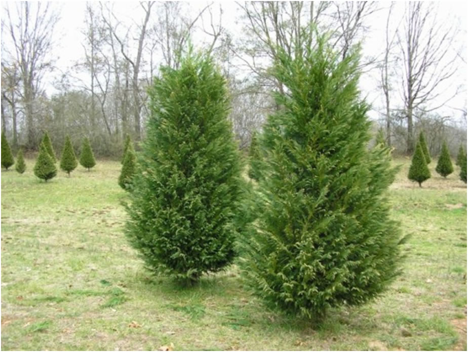 Christmas Tree Farm Columbia Sc